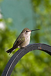 COSTA'S HUMMINGBIRD, FEMALE, CALYPTE COSTAE