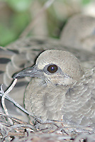 Young Morning Dove on the nest in southern Arizona.