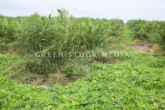 A cover crop of Mucuna bracteata, a leguminous plant, prevents soil erosion (protects water resources), stops weeds (reduces chemical spraying), and fixes nitrogen (increases soil fertility). It is planted next young oil palm trees while they are being established. These palms are approximately three years old. The Sindora Palm Oil Plantation, owned by Kulim, is green certified by the Roundtable on Sustainable Palm Oil (RSPO) for its environmental, economic, and socially sustainable practices. Johor Bahru, Malaysia