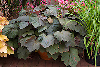Heuchera 'Brownies' in pot container