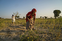 Guar farmer Pemaram Jangu, 70, and his wife Jhuma Jangu, 65, harvest their crop in their field in Hameira village, Bikaner, Rajasthan, India. Non-Profit Organisation Technoserve works with Guar farmers in Bikaner to provide technical farming knowledge to them, improving their crop yield through good agricultural practices. Photograph by Suzanne Lee