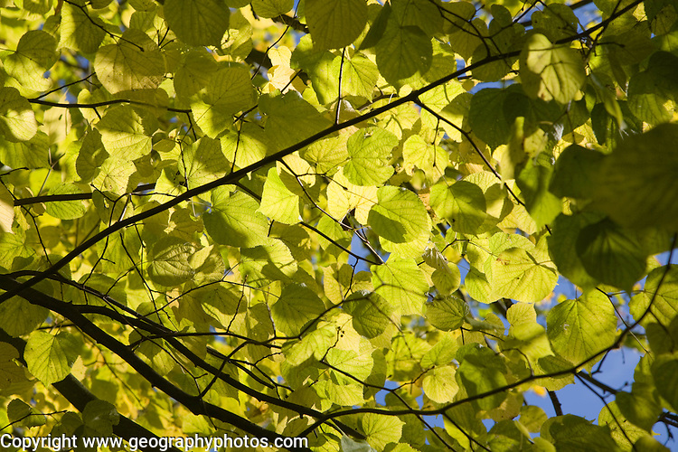 Looking up to blue sky sunshine through dappled leaves of lime tree illustrating photosynthesis, Suffolk, England