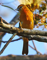 Female northern oriole