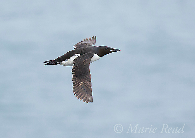 Thick-billed Murre (Uria lomvia) in flight, St. Paul Island, Pribilofs, Alaska, USA