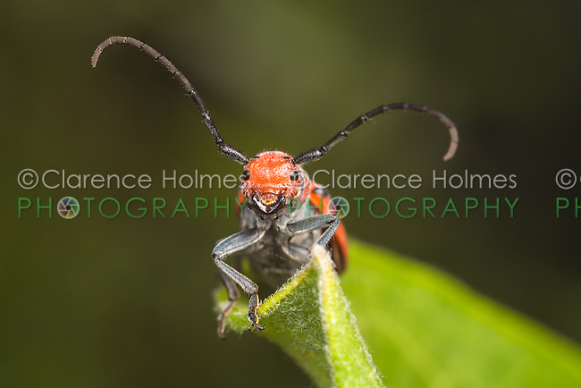 A frontal view of a Red Milkweed Beetle (Tetraopes tetrophthalmus) perching on a Common Milkweed plant leaf.