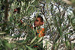 A Palestinian boy, member of the Ali family picks olives in the Palestinian village of Jama'in, in the West Bank October 19, 2006. Part of the olive trees of the Ali family are in the border with the Jewish Settlement of Tapuach, which makes it very dangerous for the family to pick the olives because of continuous attacks and threats by Jewish settlers to members of the family. In order to harvest the trees this year by an Israeli Court decision the family has been protected by Israeli security forces. To make sure the family can harvest the trees the family also is receiving the help of an Israeli NGO called Rabbis for Human Rights. RHR helps the Palestinian families not only with their presence but also with volunteers who help with the harvest in the border and friction areas with Jewish Settlers. Photo by Quique Kierszenbaum