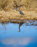 A great blue heron(Ardea herodias)is standing along the bank of a lake with his reflection in the water with a blue sky and cloud in the Ridgefield National Wildlife Refuge