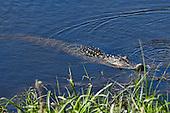 Louisiana Wildlife