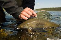 Arctic Grayling fishing