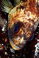 Quillback rockfish, Sebastes maliger, Sunshine Coast, British Columbia, Pacific Ocean