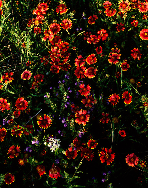 Indian blankets, Cooke County, Texas