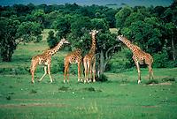 Four giraffes feeding on Acacia trees, Kenya, Africa.