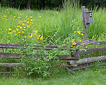 Bureau, County, IL<br /> Prairie coneflowers (Ratibida pinnata) and native prairie grasses along a weathered split rail fence