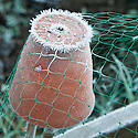 Autumn hoar frost on upturned flowerpot supporting brassica netting, late October.