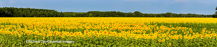 63801-06910 Sunflower field Sam Parr State Park Jasper County, IL