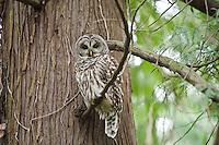 Barred Owl, Seattle, Washington