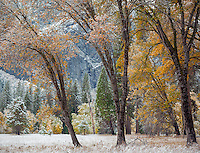 Yosemite National Park, CA: Three black oaks (Quercus kelloggii) with lingering fall color and a dusting of snow, Yosemite Valley