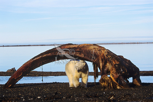 Polar Bear checking out the remains of a bowhead whale (harvested by native americans) along the Beaufort Sea coast, Alaska.  Sept.