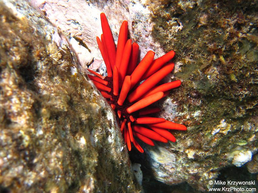 Red Slate-Pencil Urchin, Shark's Cove, North Shore, Oahu