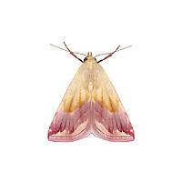 Beautiful Marbled - Eublemma purpurina<br /> 72.074 (2409a)