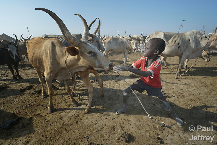Eight-year old Garang Duot wrestles to control an animal on April 12, 2017, in a cattle camp in Dong Boma, a Dinka village in South Sudan's Jonglei State. Most of the families in the village, including this boy's, recently returned home after being displaced by rebel soldiers in December, 2013, and they face serious challenges in rebuilding their village while simultaneously coping with a drought which has devastated the cattle herds that provide a foundation for their economy and culture.<br /> <br /> The Lutheran World Federation, a member of the ACT Alliance, is helping the villagers restart their lives with support for housing, livelihood, and food security.<br /> <br /> Parental consent obtained.