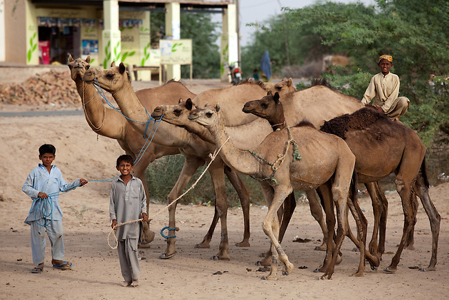 25 JULY 2011: Basti Mahraan Village, Punjab, Pakistan.  Muslim village boys herd camels through the village on a searing day.  Mahar Abdul Latif, a former member of Muslim terrorist group Lashkar-i-Taiba (LeT) found his views towards Hindu's change after  Bachu Ram, a Hindu offered to donate his rare blood type to save the life of a Muslim woman. As a result relations  have thawed in the traditional violence between the Muslims and Hindu's of the village. Picture by Graham Crouch/Toronto Star.