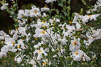 Romneya 'White Cloud' (R. coulteri x  trichocalyx) - Matilija Poppyflowering California native perennial at Tree of Life Nursery