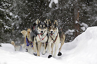 Lachlan Clarke's father and son lead dogs Walter, (right) and Starbuck (left),  lead dogs trot in sync through a spruce forest outside the Finger Lake checkpoint during a light snowfall during the 2012 race