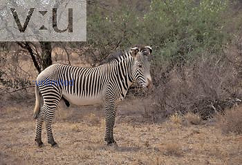 Grevy's Zebra ,Equus grevyi,, Africa.