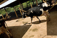 Milking cows. Piracema, Minas Gerais, Brazil, South America, 2007, © Stephen Blake Farrington