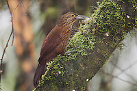 Strong-billed Woodcreeper (Xiphocolaptes promeropirhynchus), adult with moth prey,Mindo, Ecuador, Andes, South America