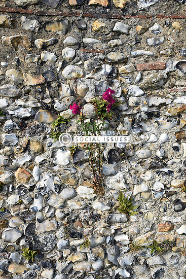 Flowers growing in wall at Binham Abbey, Norfolk
