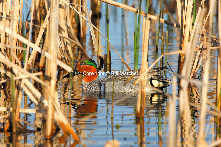 00310-016.04 Green-winged Teal Duck (DIGITAL) male is on the water of cattail marsh typical of species.  H4L1
