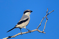 578579006 a wild loggerhead shrike lanius ludovicianus perches on a tree branch in the rio grande valley of south texas united states