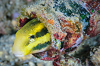 Shorthead fangblenny, Petroscirtes breviceps, uses a discarded beer bottle for shelter, Lembeh Strait, North Sulawesi, Indonesia, Pacific