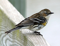 Myrtle yellow-rumped warbler in winter, Port Aransas, TX
