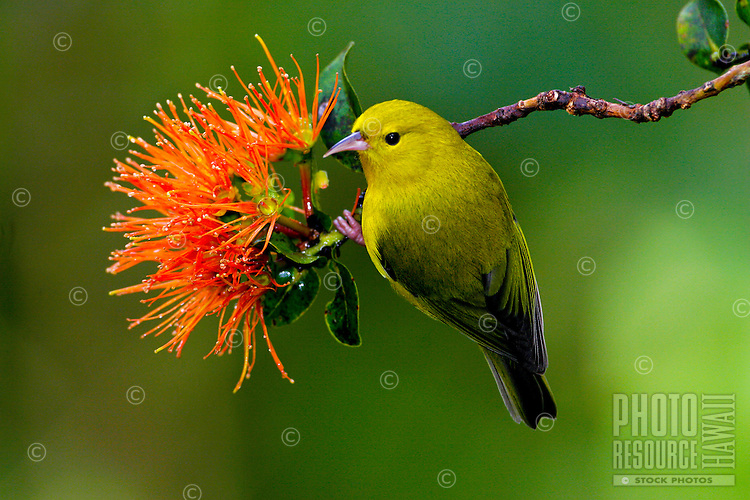 Anianiau (Hemignathus parvus)on orange ohia flower. Found only on Kauai and one of the smallest Hawaiian honeycreepers, it is found only in the Alakai swamp.  It feeds on insects and nectar.