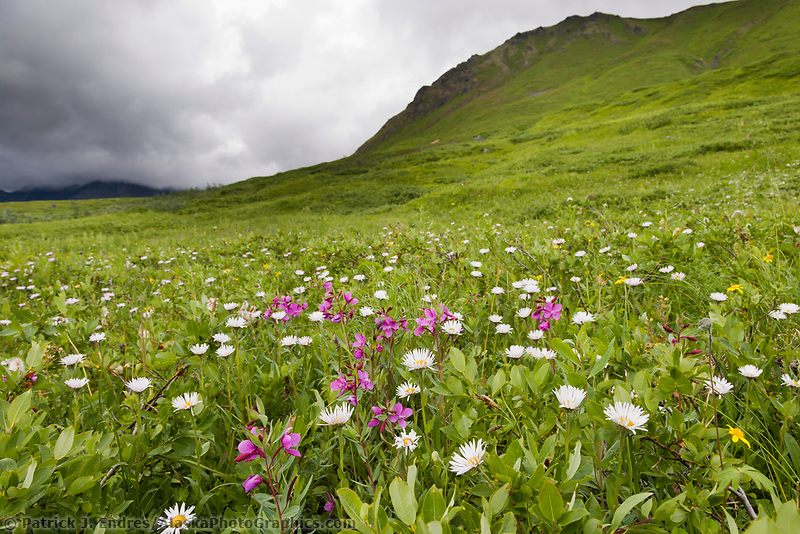Asters and dwarf fireweed in summer meadow, Hatcher Pass, Alaska.