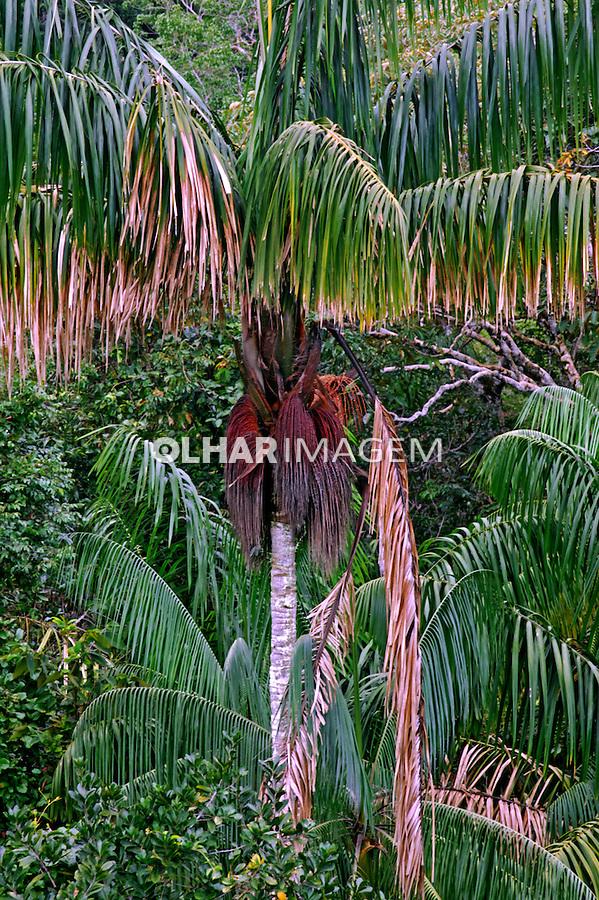 Arvore Palmeira Patuá ( Oenocarpus bataua). AM. Foto de Zig Koch.