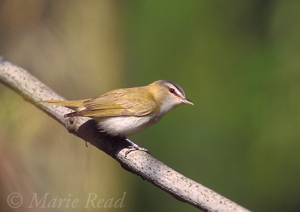 Red-eyed Vireo (Vireo olivaceus) adult in spring, New York, USA<br /> Slide # B159-42