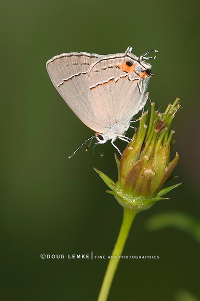 Gray Hairstreak, Strymon melinus, Crawling On A Flower Bud