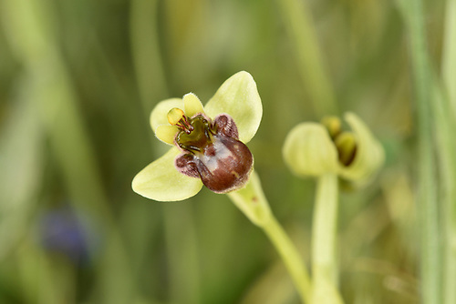 Bumblebee Orchid - Ophrys bomyliflora