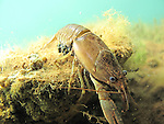 Crayfish scuba diving underwater photography MN