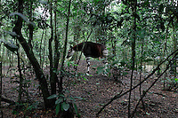 Okapi in captivity in the OFR (Okapi Faunal Reserve).