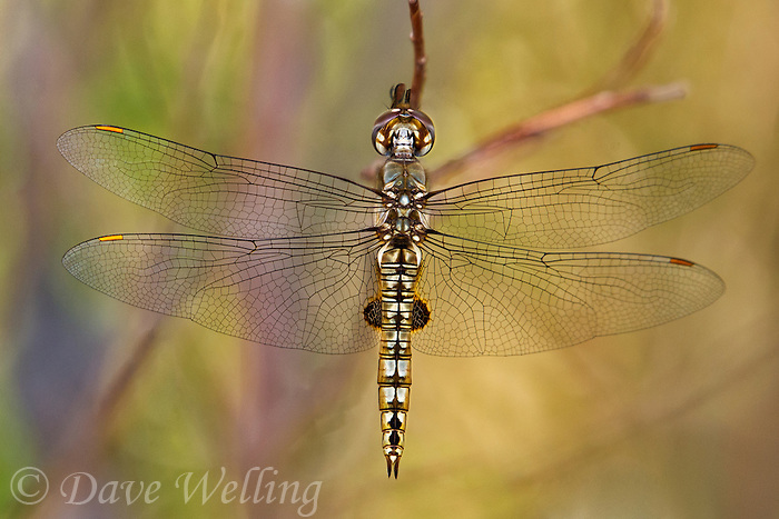 342950026 a wild spot-winged glider dragonfly pantala hymenaea  perches on a dead stick  along jean leblanc canal north of bishop mono county califorina united states