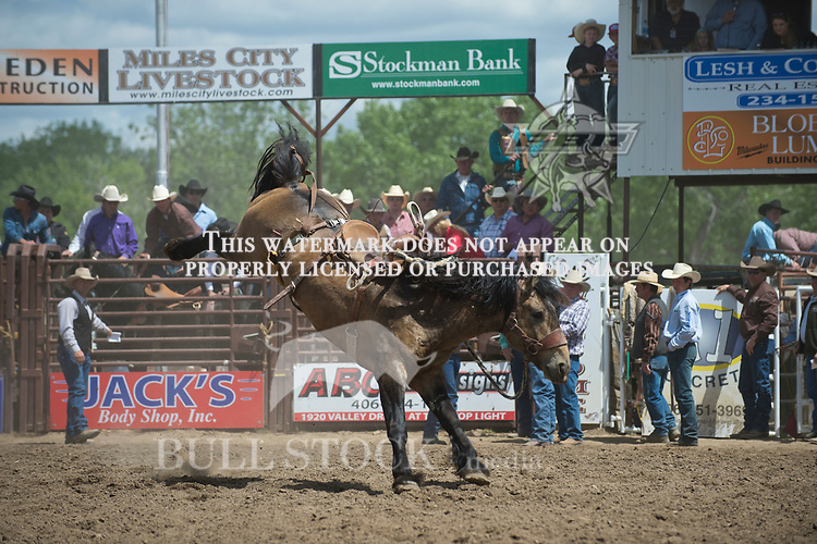 Wildman Rodeos #301 for a stock score of 78.5 at the Fraturity Bucking Horse ABHR event in Miles City MT.  Photo by Josh Homer/Bull Stock Media.