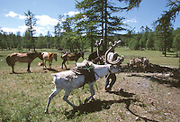 27 JUN 2002 - KHOVSGOL NATIONAL PARK, MONGOLIA - A herdsman leads a reindeer through a Tsaatan camp. (PHOTO (C) NIGEL FARROW)