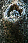 Spotted owlet, Ranthambore National Park, India