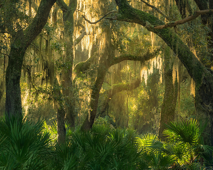 A brief moment of beautiful sunset light shimmers through the maritime forest wilderness of Cumberland Island National Seashore.f