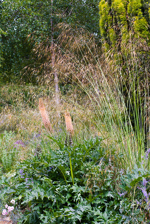 Stipa gigantea (as was), Acanthus spinosus, Eremurus cv. ornamental grass